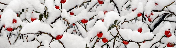 Snow_on_berries_Alps-103bdc9bb7050858efbb0fe6c941dd70.jpg